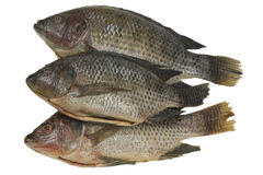 全部鱼的罗非鱼 图库摄影
