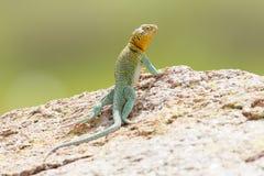 全长东部抓住衣领口的蜥蜴 免版税库存图片