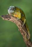 全长豹的变色蜥蜴 免版税库存图片