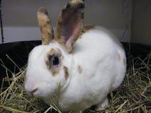 全麦饼干是一只好奇兔子。 库存图片