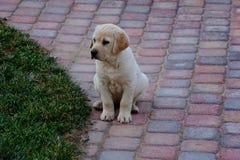 八个星期的老黄色labador小狗 免版税库存图片