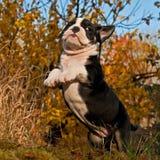 八个星期年纪小狗老英国牛头犬 库存照片