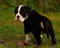 八个星期年纪小狗老英国牛头犬 库存图片