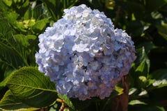 八仙花属在庭院里 库存照片