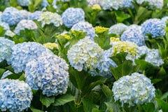 八仙花属特写镜头与开花数百的花所有小山 免版税库存照片