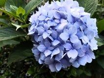 八仙花属紫罗兰秀丽 免版税库存照片
