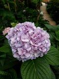 八仙花属紫色 免版税库存图片