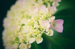 八仙花属绽放 库存照片