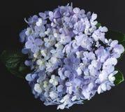 八仙花属花紫色在黑背景中 库存图片