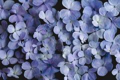 八仙花属花紫色在黑背景中 图库摄影