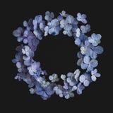 八仙花属花紫色在黑背景中 免版税库存图片