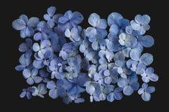 八仙花属花紫色在黑背景中 免版税库存照片