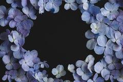 八仙花属花紫色在黑背景中 库存照片