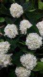 八仙花属 美丽的花 垂直的摄影 库存图片