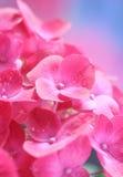 八仙花属 免版税库存图片