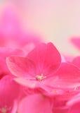 八仙花属 免版税库存照片