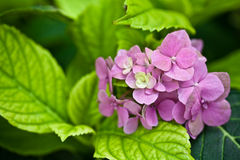 八仙花属 免版税图库摄影
