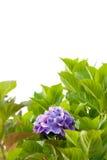 八仙花属 图库摄影