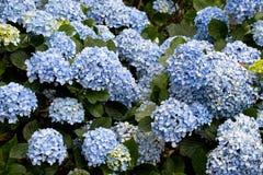 八仙花属- Hortensius八仙花属 库存图片