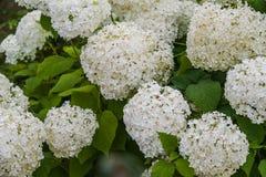 八仙花属Annabelle 库存图片