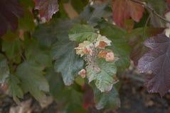 八仙花属quercifolia叶子 免版税图库摄影