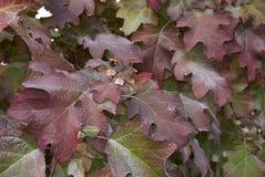 八仙花属quercifolia叶子 库存照片