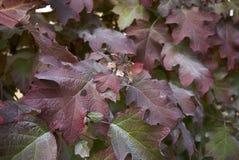 八仙花属quercifolia叶子 库存图片