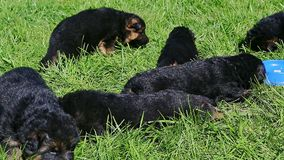 八只德国牧羊犬小狗的全景在绿草休息 股票视频