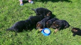 八只德国牧羊犬小狗顶视图喝从蓝色碗的牛奶 股票录像