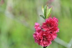 八朵樱花 免版税库存图片
