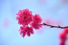 八朵樱花 免版税库存照片