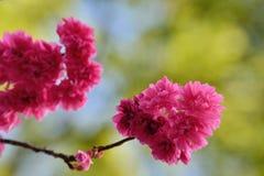 八朵樱花 库存图片