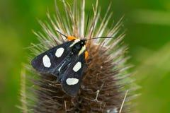 八被察觉的林务员飞蛾- Alypia octomaculata 免版税图库摄影
