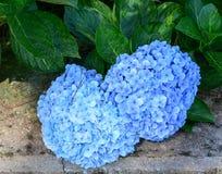 八仙花属在公园开花在Sinagar,印度 免版税图库摄影