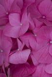 八仙花属在庭院里 免版税库存图片