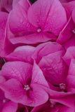 八仙花属在庭院里 免版税图库摄影