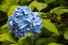 八仙花属在日本 库存照片