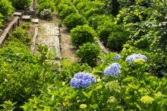 八仙花属在日本 免版税库存照片