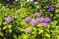 八仙花属在日本 库存图片