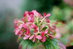 八仙花属在雨中 免版税图库摄影