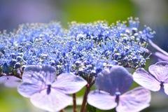 八仙花属日本 图库摄影