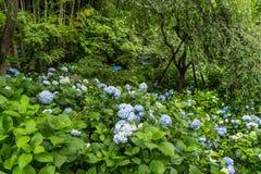 八仙花属森林  免版税库存图片