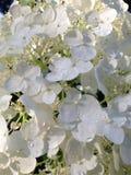 八仙花属白色 库存图片
