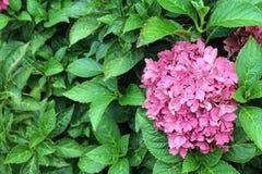 八仙花属粉红色 库存图片
