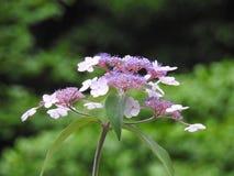 八仙花属粉红色 图库摄影