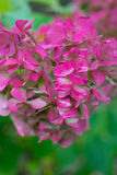 八仙花属粉红色 免版税库存照片