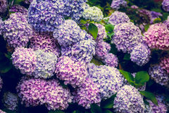 八仙花属花在庭院里 库存图片