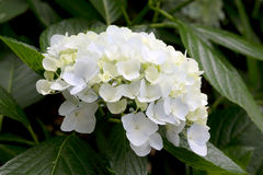 八仙花属花 库存图片