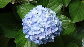 八仙花属霍滕西亚开花特写镜头 影视素材