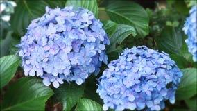 八仙花属霍滕西亚花 影视素材